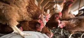 Focar de gripă aviară în orașul Cristuru Secuiesc