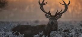 A început sezonul de vânătoare la cerb carpatin