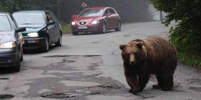 Un urs din zona Tuşnad a fost prins şi relocat