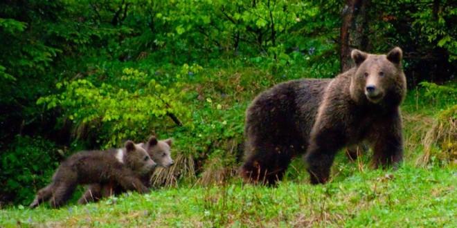 Ursoaică rănită şi periculoasă, în pădurea dintre Odorheiu Secuiesc şi Feliceni