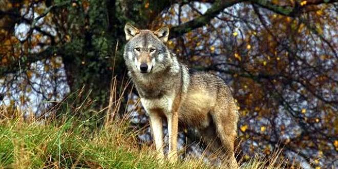 O şansă pentru lupii din România prin proiectul de conservare WOLFLIFE