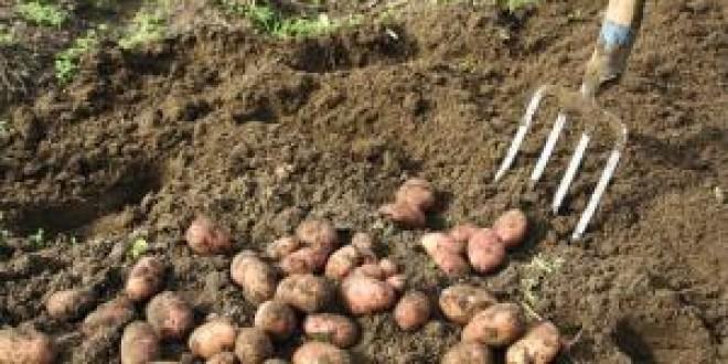 Recoltă bună, dar preţ mic la cartoful de toamnă