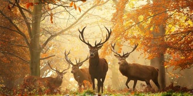 Sezonul de vânătoare la cerbi de trofeu este în toi