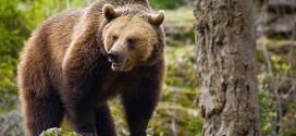 Urşii au cauzat probleme semnificative în comuna Lupeni