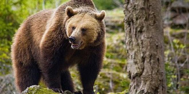 Un cioban de 23 de ani a fost atacat de urs în apropiere de Ineu