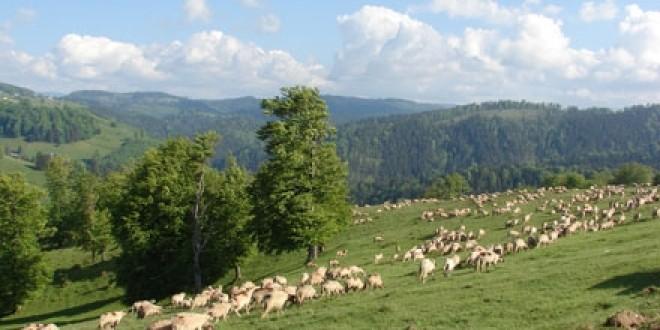 Ne întoarcem la ciobănit: faţă de anul trecut, a crescut numărul de ovine, caprine şi bovine