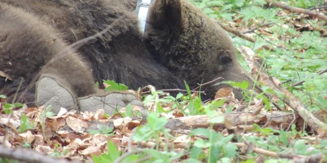 Cazul unui urs braconat în comuna Lupeni, investigat de poliţiştii harghiteni