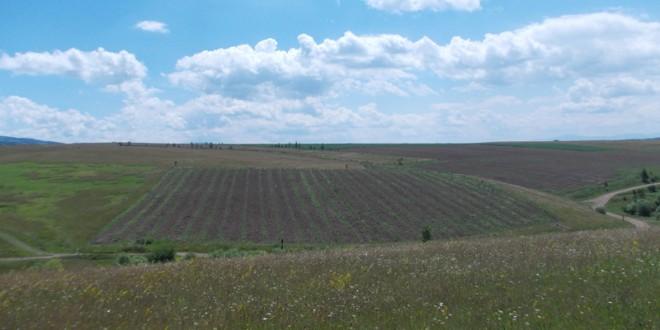 Prima mare plantaţie de cătină din judeţ e la Topliţa…