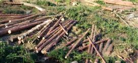 <h6><i>Din analiza Direcţiei Silvice Harghita pe semestrul I:</i></h6> Materialul lemnos tăiat ilegal, în uşoară creştere faţă de aceeaşi perioadă a anului trecut