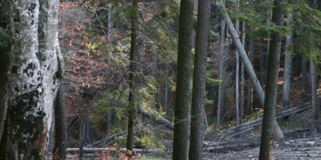 Firmele au boicotat din nou licitaţia de valorificare a masei lemnoase, organizată de Direcţia Silvică