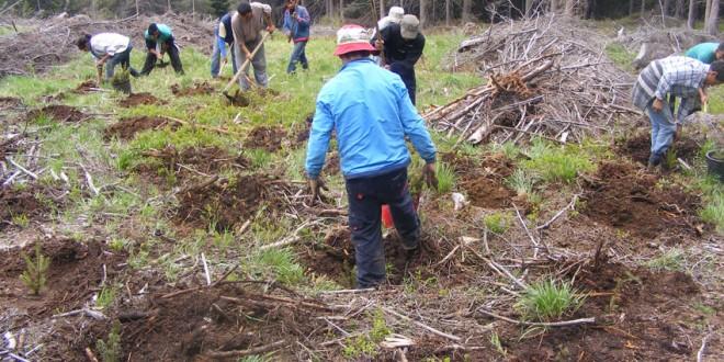 Direcţia Silvică Harghita va planta în această primăvară 1.375.000 de puieţi