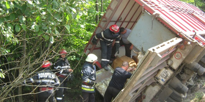 Autocamion ce transporta 24 de bovine, răsturnat în afara carosabilului