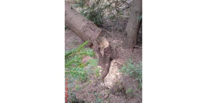 Deşi sancţiunile în domeniul silvic s-au înăsprit, furturile de lemne continuă să fie un fenomen (I)