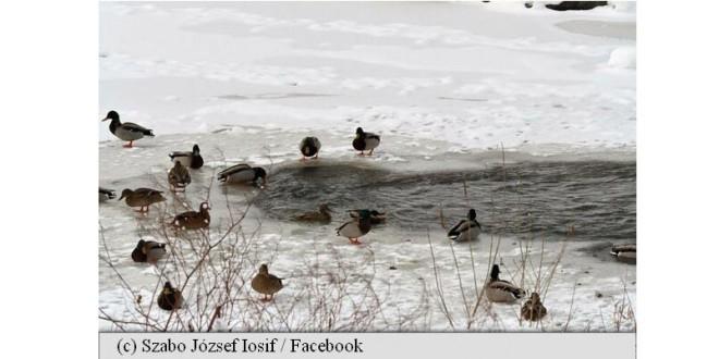 Pe Târnava Mare: Păsări sălbatice epuizate din cauza lipsei de hrană