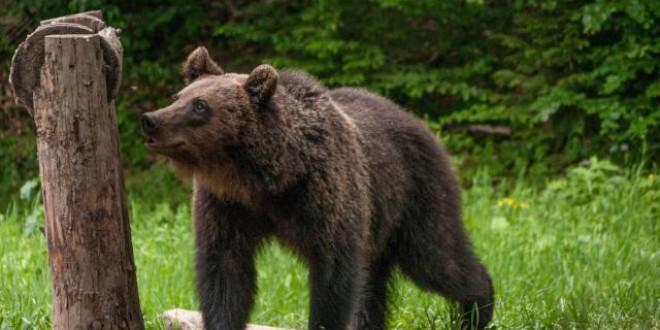 Un tânăr de 28 de ani din Voşlăbeni, atacat de urs
