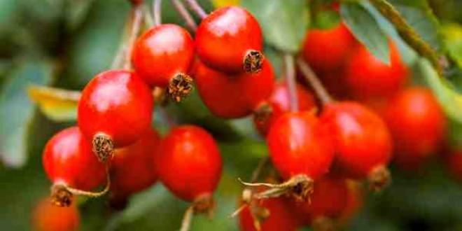 Producţia de fructe de pădure, extrem de slabă în acest an