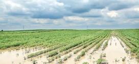 Apariţia manei la cartofi şi a dăunătorilor culturilor agricole este iminentă