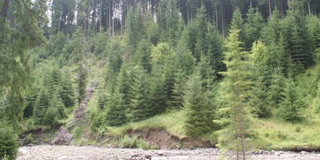 La Lunca de Jos se vede o pădure frumoasă de la margine, însă când intri dai peste cioate, multe acoperite
