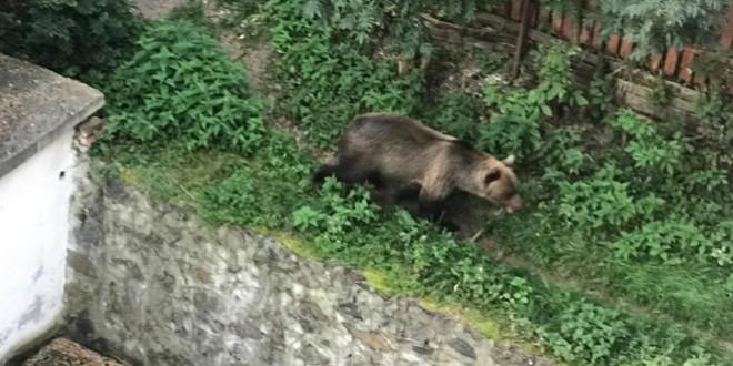 <h5>Într-o singură noapte:</h5>Trei apeluri la 112 care anunțau prezența unor urși în Voșlăbeni și Băile Tușnad