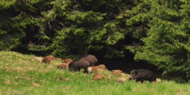 În judeţ, cota suplimentară de recoltare a mistreţilor, aprobată ca măsură pentru prevenirea şi combaterea pestei porcine, este imposibil de realizat