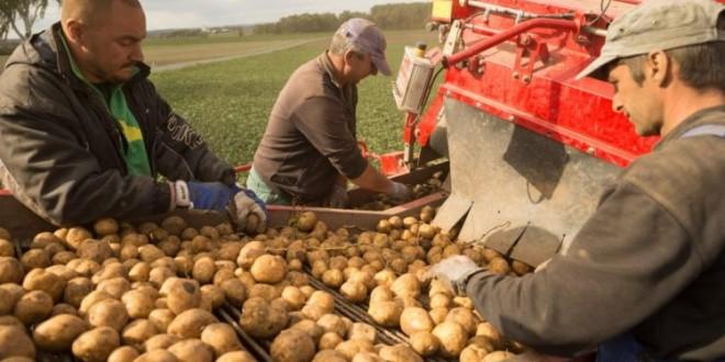 Recolta slabă dublează preţul cartofului