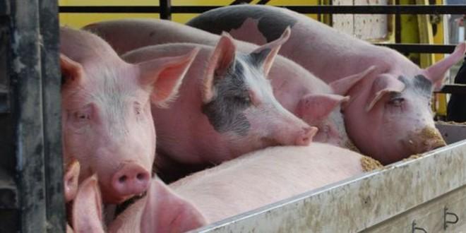 Virusul pestei porcine africane a fost depistat în gospodării din două localități harghitene și pe un fond de vânătoare din județ