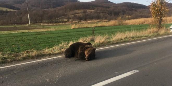 Un urs, rănit grav într-un accident rutier, a fost eutanasiat, după 18 ore de agonie, pe marginea DN13 A; prefectul județului va fi demis