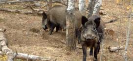Un nou focar de pestă porcină africană confirmat oficial în Harghita