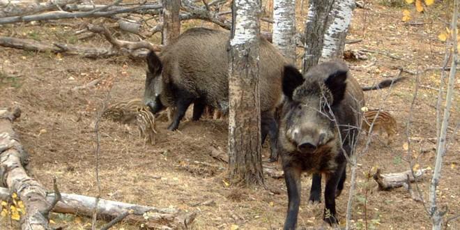 Focar de pestă porcină africană pe un fond de vânătoare de pe raza comunei Corund