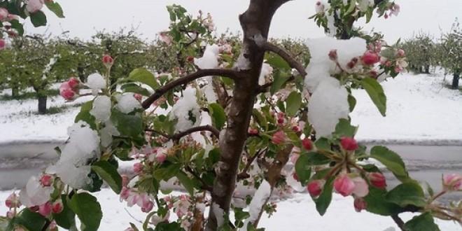 Iarna întârziată pune în pericol culturile de toamnă şi pomii fructiferi