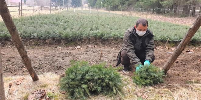 Campania de împădurire s-a încheiat pe suprafeţele administrate de Direcţia Silvică Harghita