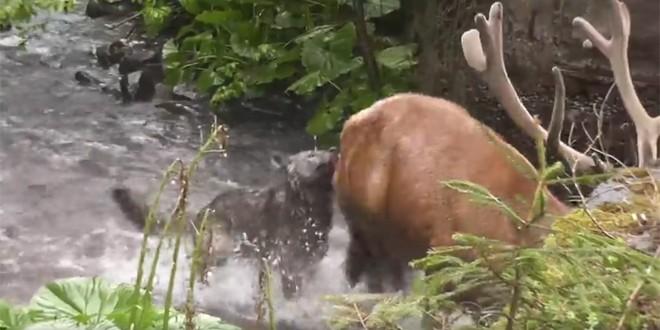 Video: cerb atacat de lupi în Parcul Național Călimani