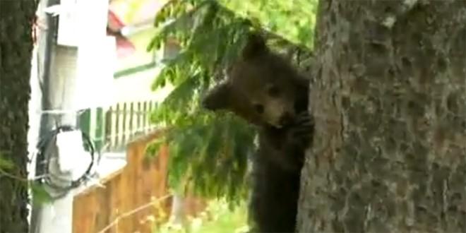 Urşii s-au luat la bătaie în cartierul de blocuri ANL din Băile Tuşnad