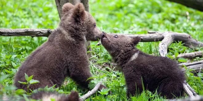Se caută voluntari pentru construirea noului ţarc al Orfelinatului de urşi din inima Munţilor Hăşmaş