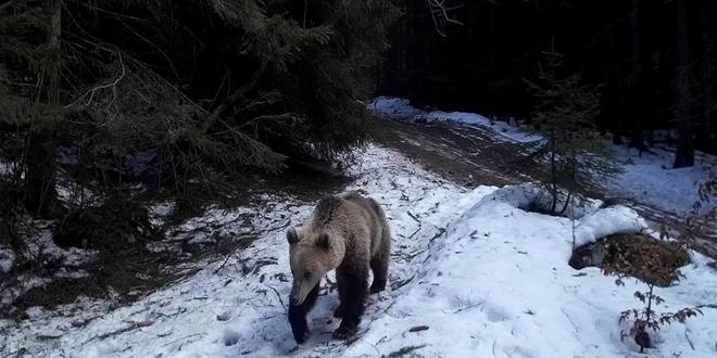 Primăria Bălan aşteaptă soluţii în cazul unor urşi periculoşi care au apărut în zonă