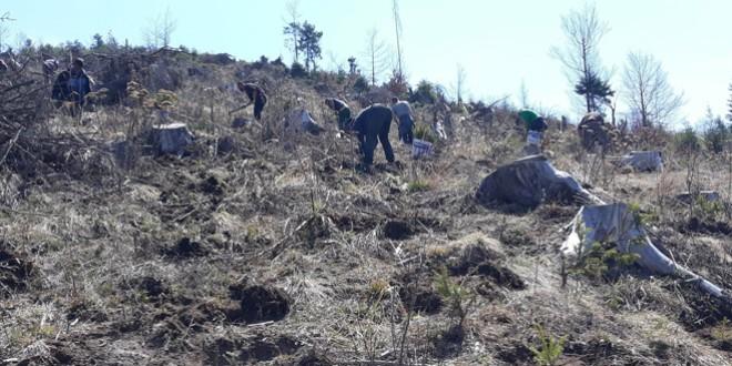 Campania de împăduriri se apropie de final pe suprafeţele forestiere administrate de DS Harghita