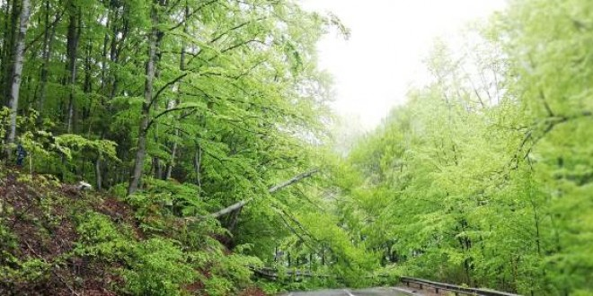Zeci de arbori vulnerabili tăiați, pentru siguranța traficului rutier