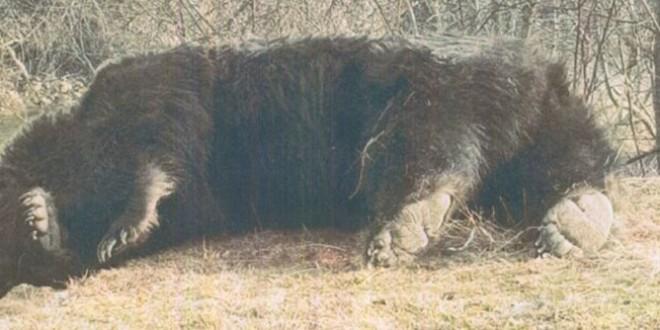 Pielea ursului din pădure