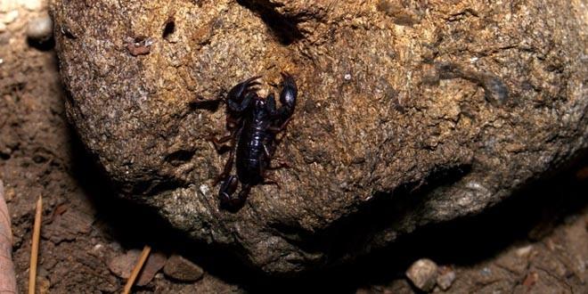 Scorpionul din Carpaţi: Cât de veninos este scorpionul care se găseşte în munţii din România?