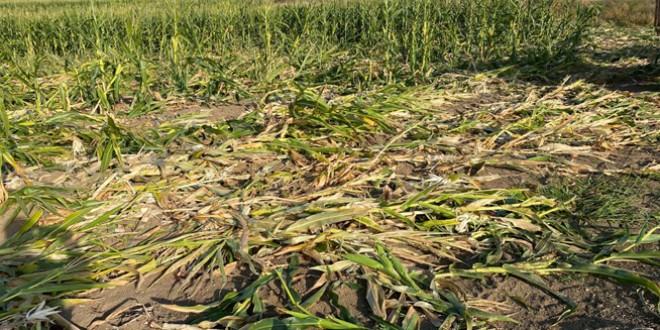 Sute de hectare cultivate cu porumb pentru siloz distruse de urşi