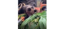 Urs de şapte-opt luni, eutanasiat după ce a fost rănit grav de o combină
